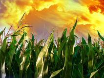 Corn. Field of corn with a sunset above it Stock Image