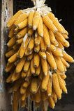 Corn. A pile of golden corn,hanging on a roof royalty free stock photo