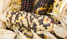 Corn. Freshly harvested corn, close up Stock Image