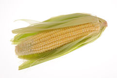 Corn. Fresh Corn from the field Royalty Free Stock Photo
