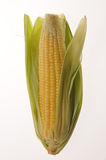 Corn. Fresh Corn from the fields Royalty Free Stock Images