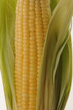 Corn. Fresh Corn from the field Stock Photo