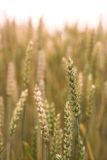 Corn. It's a close-up photo of a corn field Royalty Free Stock Photography