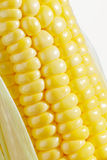 Corn. The isolated freshly harvested corn, macro, closeup Royalty Free Stock Photo