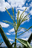 Corn. This is seed of corn,take from corn farm stock images