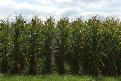 Corn. Rows and blue sky with clouds Stock Photo