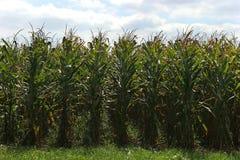 Free Corn Stock Photo - 1487590