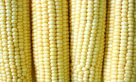 Corn. Fresh corn in close-up view royalty free stock photos