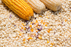 Corn. The multicolor background of dried corn seeds Stock Images