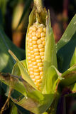 Corn. The ripened grains of corn growing on a corn bush Royalty Free Stock Images