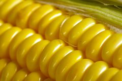 Corn. A close up of uncooked corn (Maiz Royalty Free Stock Photography
