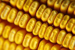 Corn. A closeup of an ear of corn royalty free stock photography
