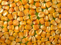 Corn. Ripe golden corn suitable as background Royalty Free Stock Photos