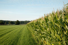 Corn. Field  in late afternoon soft sunlight Stock Photo