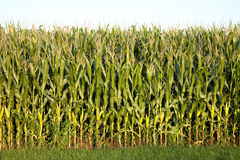 Corn. Field  in late afternoon soft sunlight Royalty Free Stock Photography