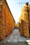 Corn. Harvest season in China Stock Image
