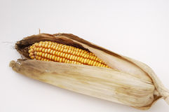 Corn 2. An ear of corn ready for harvested in the fall Stock Photos