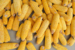Corn Stock Image
