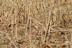 Corn. Abstract shot of a corn field after harvesting stock image