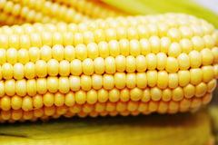 Corn. Largely, ripe, juicy ears Stock Photography