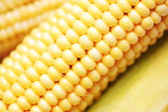 Corn. Ripe, juicy large tasty ears Royalty Free Stock Images