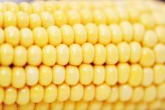 Corn. Ripe, large grains, close Royalty Free Stock Photography