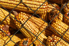 Corn. Close up of dried corn in silo royalty free stock image