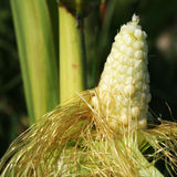 Corn. Close up to the corn on the field Stock Photography