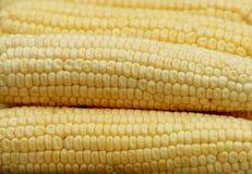 Corn. Three fresh ears of corn Royalty Free Stock Image