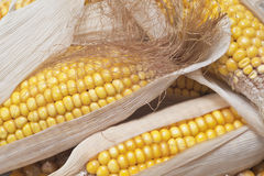 Corn. Closeup from some dried corn ears showing the kernels with good detail Stock Images