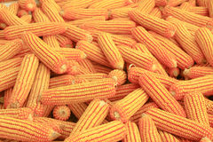 Corn. Some ears of corn harvested Stock Image