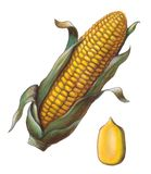 Corn. Cob and kernel. Hand painted illustration Royalty Free Stock Image