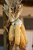 Corn. Dried corn decoration Stock Photos