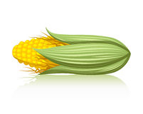 Corn. A realistic illustration of an ear of corn Royalty Free Stock Photo