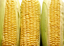 Corn 3 Royalty Free Stock Image