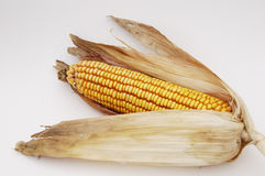 Corn 3. An ear of corn ready for harventing in the fall Stock Photo