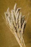 Corn 3. A wheaten ear with brown background Royalty Free Stock Photos
