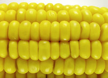 Corn. Closeup of cooked corn-cob royalty free stock images