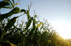 Corn. Green corn stalks against a clear blue sky close to harvest time Stock Images