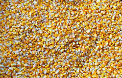 Corn. A shot of dried grains of corn in a tub Royalty Free Stock Image