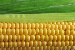 Corn. Close up view of the Corn on Cob Stock Photos