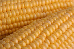 Corn. Fresh cobs of corn, closeup Royalty Free Stock Photography