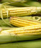 Corn. Maize cob detail between green leaves Royalty Free Stock Photo