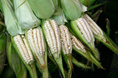 Corn. A bunch of corn ears for sale in a market stock photo