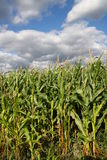 Corn. And ugly sky, postcard Royalty Free Stock Images