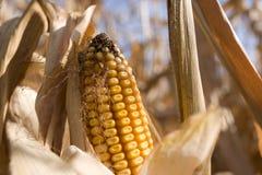 Corn. Yellow corn field in autumn Stock Photography