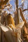 Corn. Yellow corn field in autumn Royalty Free Stock Image