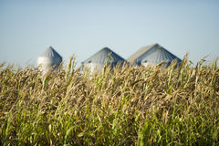 Corn. Late summer corn crop in front of storage silos Stock Photography
