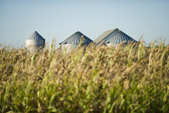 Corn. Late summer corn crop in front of storage silos Royalty Free Stock Photo