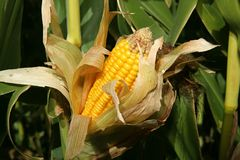 Corn. Growing on a stalk open and showing kernals Royalty Free Stock Images